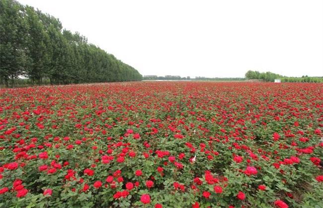 17亩土地种植玫瑰花_论文发表