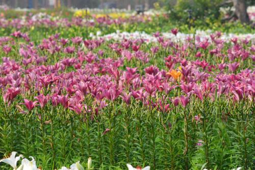 100余亩土地种植了香水百合_文章发表